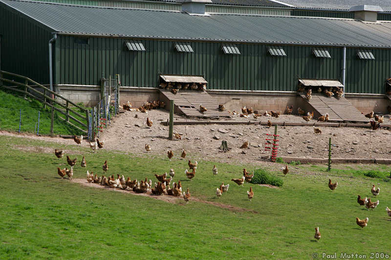 The Free Range DebateFree Range Farm Chickens