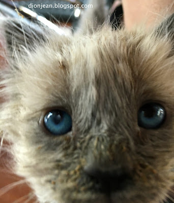 Fergus the foster kitten gets too close to the camera