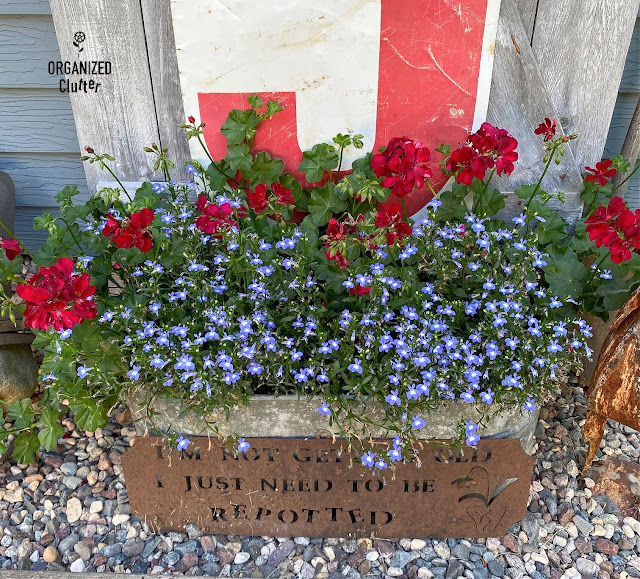 Photo of Lobelia & Ivy Geraniums in a galvanized planter
