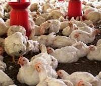 keuntungan atau manfaat beternak ayam pedaging atau ayam broiler