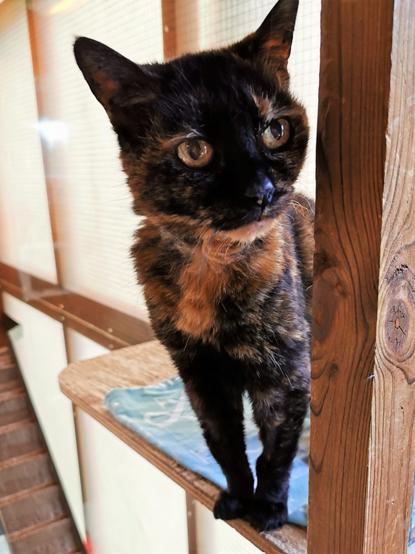 Tortoiseshell cat standing on a shelf in a cat pen
