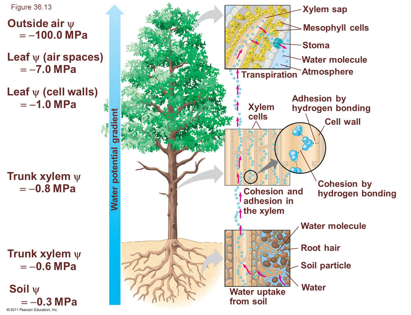 Botany Project Tree Of Water Potential Diagram Molecule Plants Acquire Their Nutrients By The Root Hairs Absorbing Soil Solute Which Includes Molecules And Dissolved Mineral Ions Solution Is Then