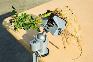 テーブルバイスにセットしたバラの接ぎ木用の台木