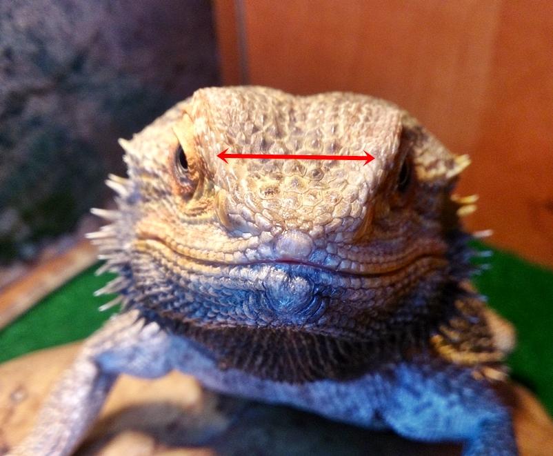 Bearded Dragon Impaction Baby Food
