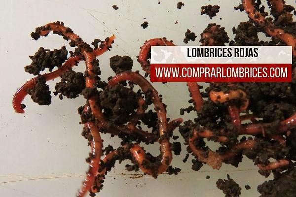 Lombrices rojas, ganadería para iniciar en la lombricultura doméstica o industrial