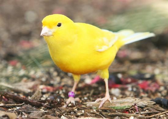 Kenari (Canary)
