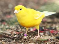 Semua Wacana Kenari (Canary)