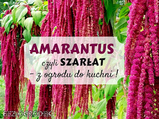 amarantus - uprawa i zastosowanie