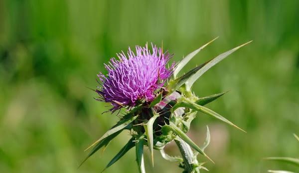 نبات شوك العلك (أداد) يسبب التسمم Atractylis gummifera