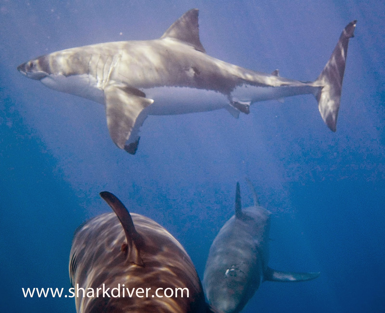 What's the difference between a Great White and a Tiger Shark?