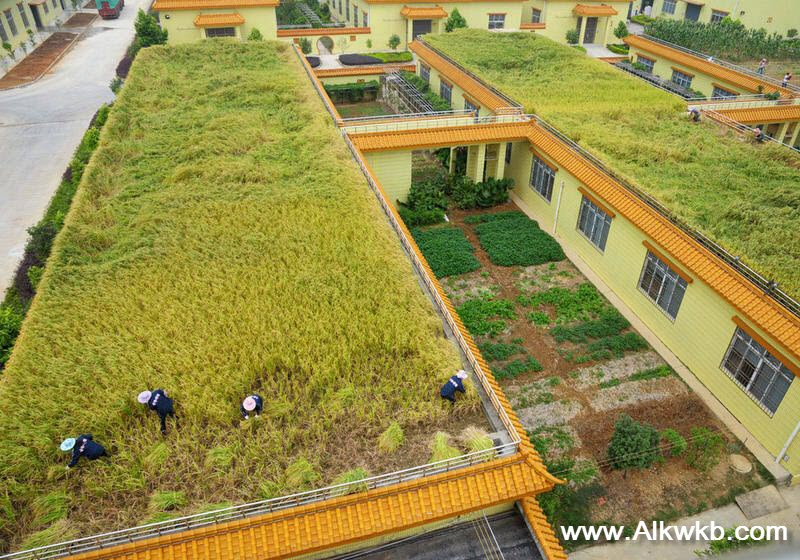 Rice Field On Roof Tops