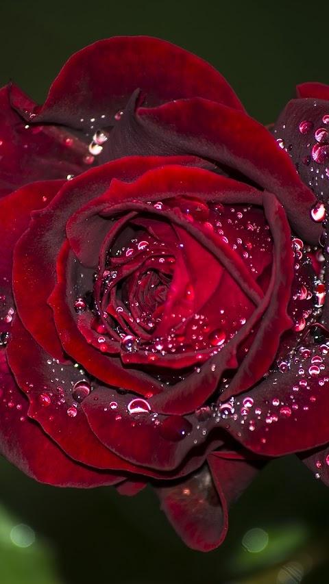Giọt sương trên cánh hoa hồng đẹp