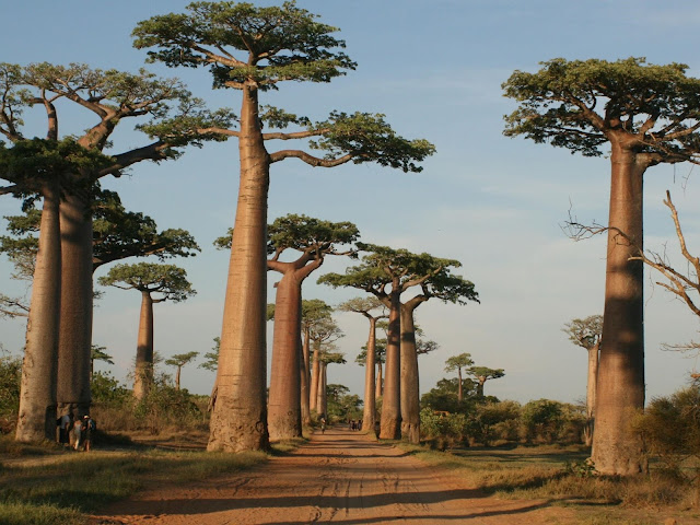 Baobab nella Stagione delle Piogge
