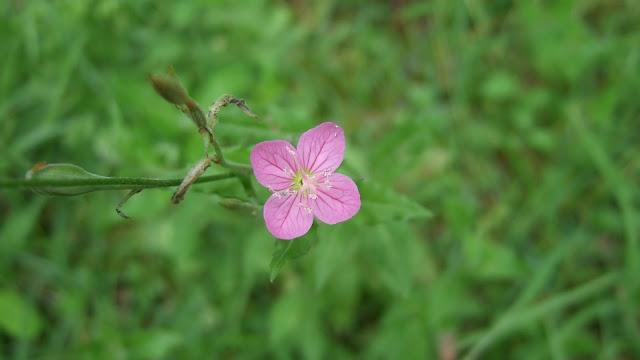 野に咲く一輪の小さなピンクの花