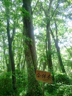 宝篋山・合体木