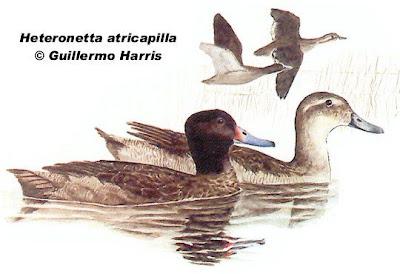 Pato de cabeza negra Heteronetta atricapilla