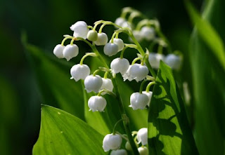 9. Lily of the Valley ($15 - $50 per paket)