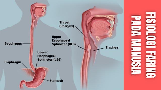 """Fisiologi Faring Pada Manusia Faring atau Tekak merupakan organ yang menghubungkan organ mulut dengan kerongkongan. Di dalam lengkung faring terdapat tonsil yaitu kumpulan kelenjar limfe yang banyak mengandung limfosit dan merupakan pertahanan terhadap infeksi.   Disini terletak bersimpangan antara jalan nafas dan jalan makanan, yang letaknya dibelakang rongga mulut dan rongga hidung, di depan ruas tulang belakang.  Jalan udara dan jalan makanan pada faring terjadi penyilangan. Jalan udara masuk ke bagian depan terus ke leher bagian depan sedangkan jalan makanan masuk ke belakang dari jalan nafas dan didepan dari ruas tulang belakang.  Makanan melewati epiglotis lateral melalui ressus preformis masuk ke esofagus tanpa membahayakan jalan udara. Gerakan menelan mencegah masuknya makanan ke jalan udara, pada waktu yang sama jalan udara di tutup sementara. Permulaan menelan, otot mulut dan lidah kontraksi secara bersamaan.    Nah itu dia bahasan dari fisiologi Faring atau Tekak pada manusia, melalui bahasan di atas bisa diketahui mengenai fisiologi Faring atau Tekak pada manusia. Mungkin hanya itu yang bisa disampaikan di dalam artikel ini, mohon maaf bila terjadi kesalahan di dalam penulisan, dan terimakasih telah membaca artikel ini.""""God Bless and Protect Us"""""""