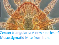 https://sciencythoughts.blogspot.com/2018/12/zercon-triangularis-new-species-of.html