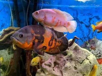 Oscar's - How To Feed, Breed &  Maintenance Care For Oscar Fish