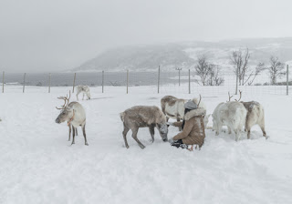 perfectlyclaudia (a girl) sits amongst feeding reindeer