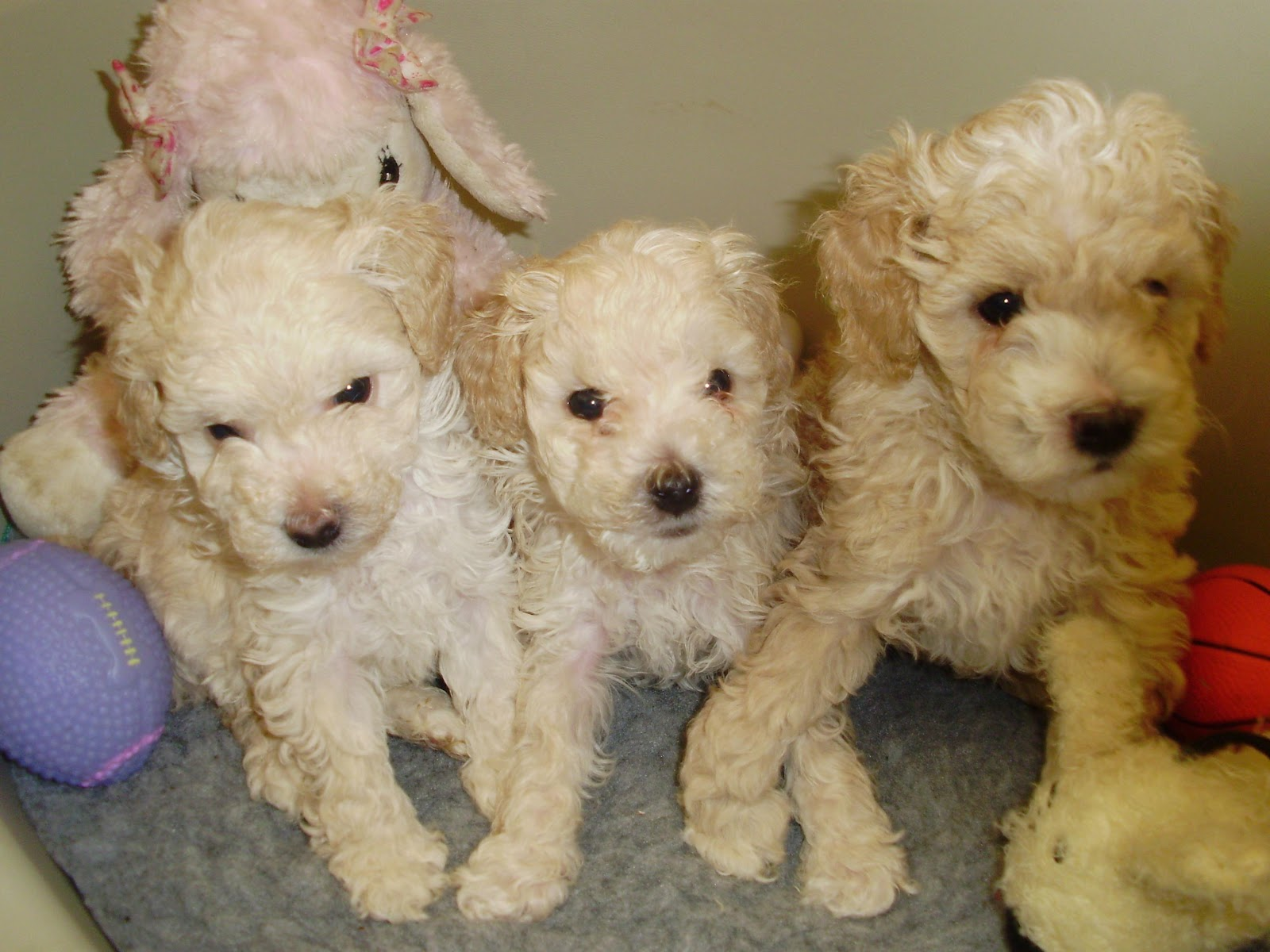 French Poodle Dogs The Or Breeds