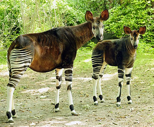 Zebra Horse Giraffe Animals | Amazing Facts & Latest ...