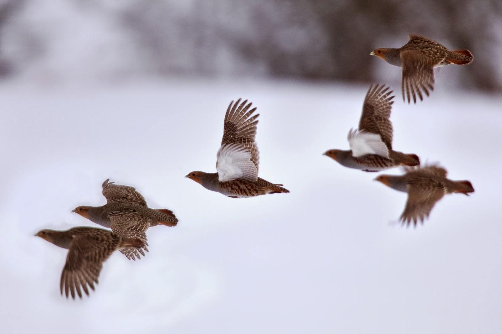 Resultado de imagen para perdices volando