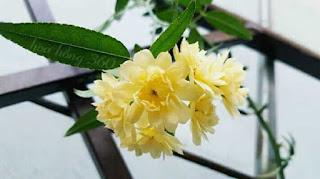 hoa hồng leo màu vàng mân côi