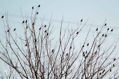 Bando de pardillo común - Common linnet (Linaria cannabina)