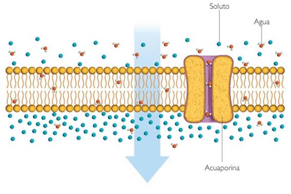 Transporte Celular Transporte Pasivo Biología Escolar