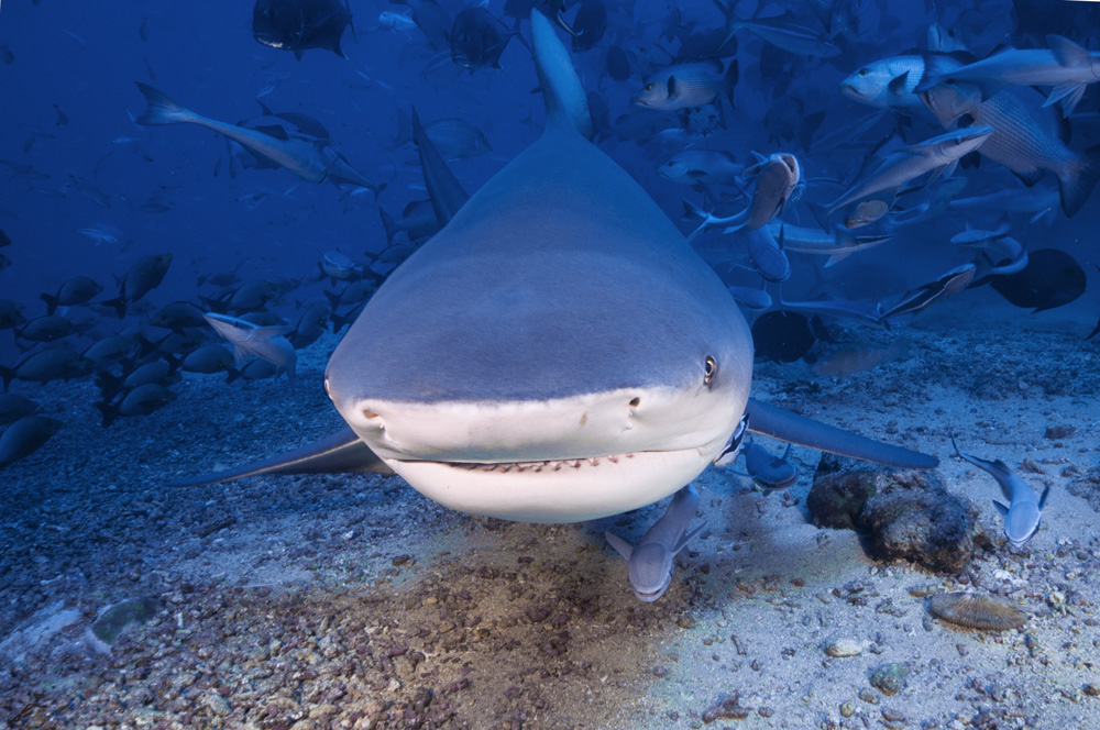 Total Pro Sports 9 Biggest Sharks Ever Caught |Worlds Largest Bull Shark