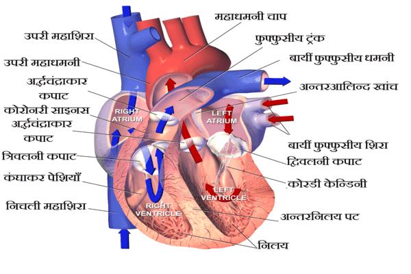 External structure of heart