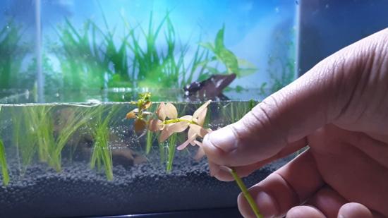 Background Aquarium Plant - Pink Baby Tear