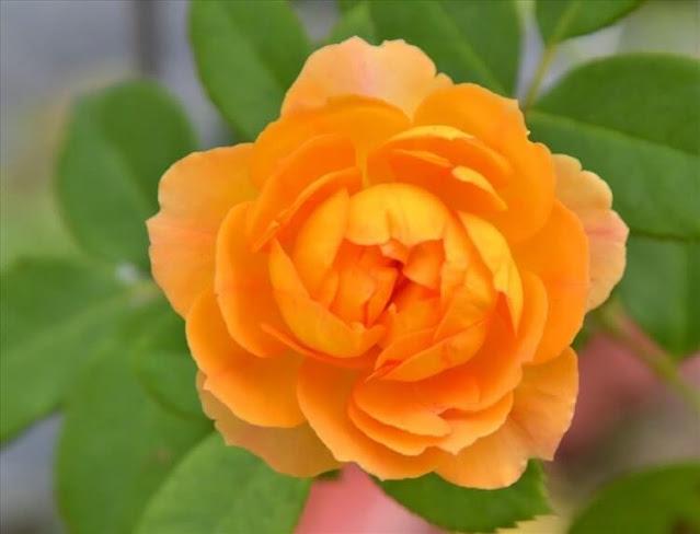Các giống hoa hồng tại Vườn hồng Tư Thắng 1