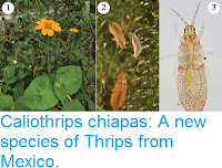 https://sciencythoughts.blogspot.com/2017/07/caliothrips-chiapas-new-species-of.html