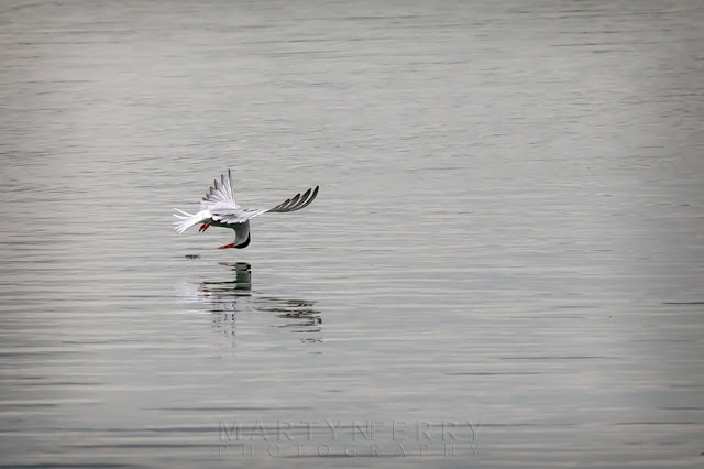 Common tern fishing in flight at Ouse Fen RSPB nature reserve