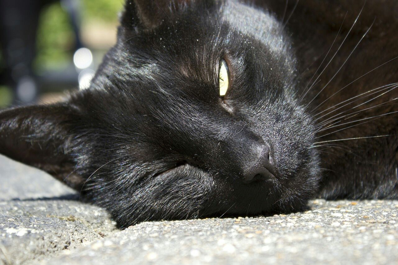 Cat Heatstroke
