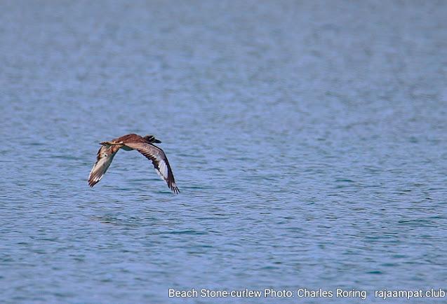 Beach stone curlew was flying off the coast of Waigeo island