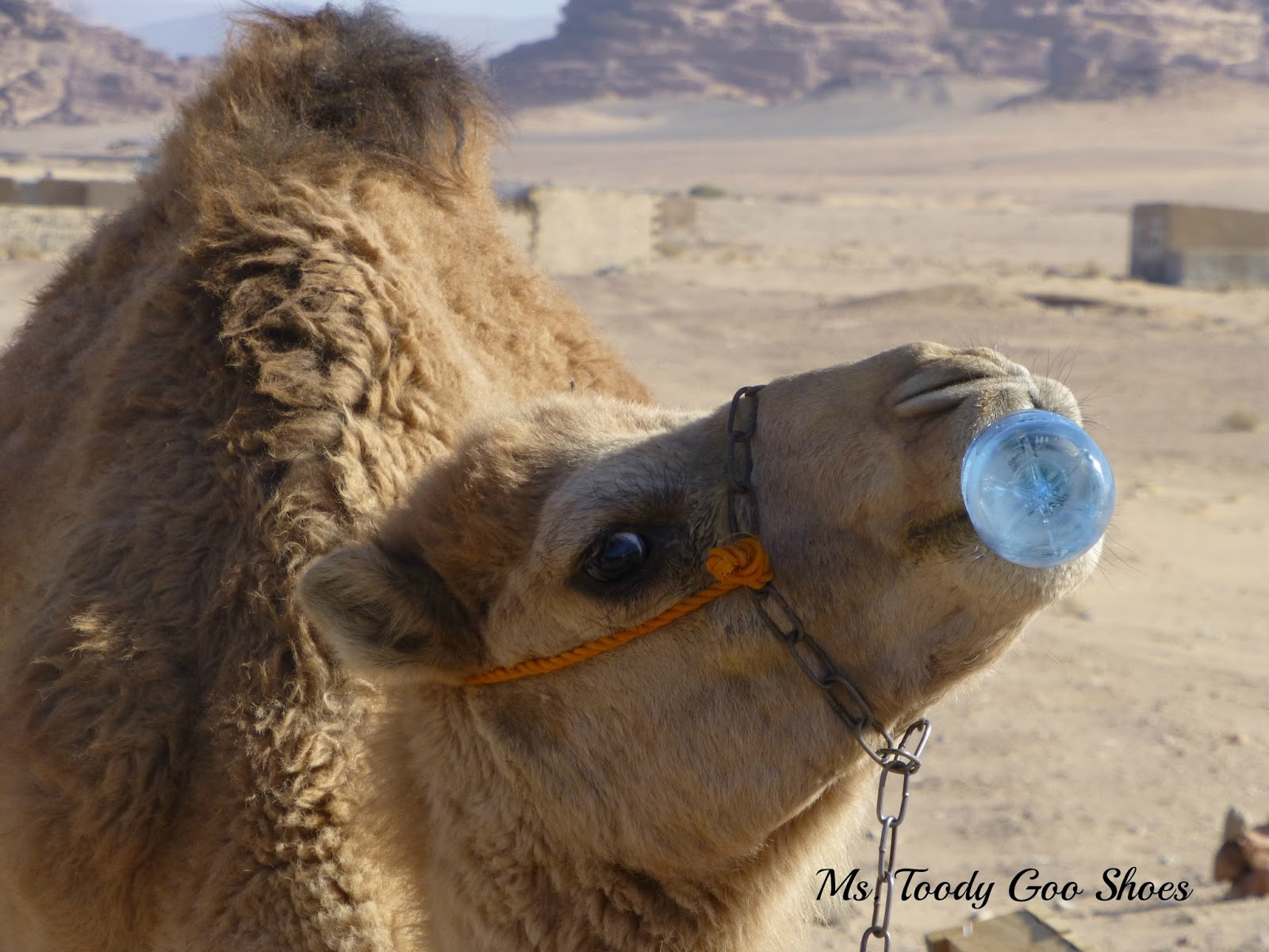 Camels in Wadi Rum Desert, Jordan --- Ms. Toody Goo Shoes