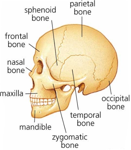 Science Natural Phenomena Medicine How Many Bones Is The Human