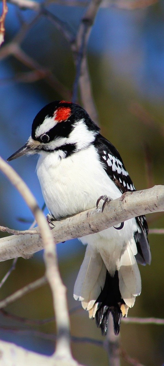 Picture of a hairy woodpecker.
