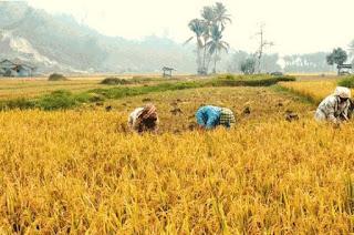 Tradisi Marsialapari Di Mandailing, Sumatera Utara