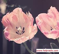 Tulip तुलिप