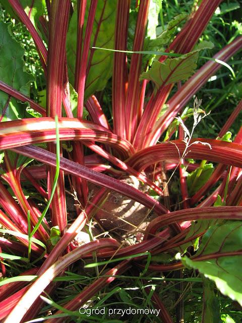 tegoroczny warzywnik, ogród przydomowy