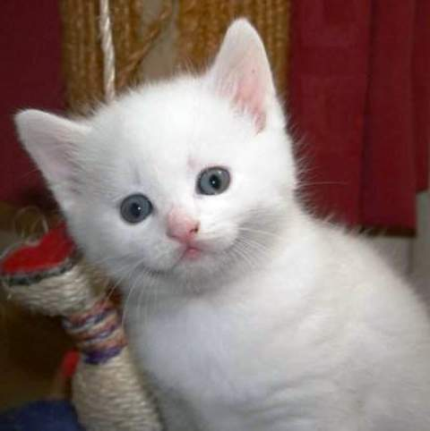 Turkish Van Kittens