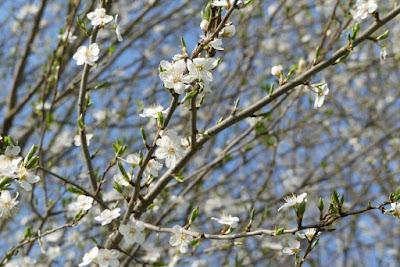Weiße Blüten der Minipflaumen