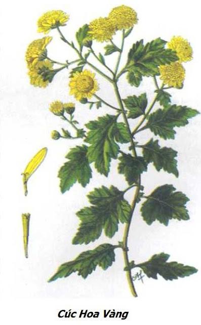 Hình ảnh Cúc Hoa Vàng - Chrysanthemum indicum - Nguyên liệu làm thuốc Chữa Cảm Sốt