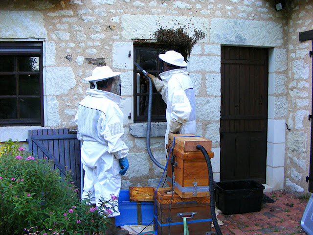 Vacuuming up the last of a feral colony of honey bees during a rescue operation, Indre et Loire, France. Photo by Loire Valley Time Travel.