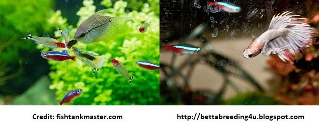 Neon Tetra Tank Mates